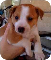 Rat Terrier Mix Puppy for adoption in Las Vegas, Nevada - RT 5