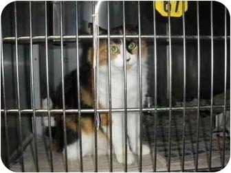 "Calico Cat for adoption in MARION, Virginia - ""Wanda"""