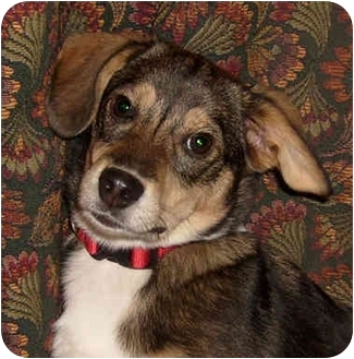 Beagle/Corgi Mix Puppy for adoption in Westfield, New York - Short Stop