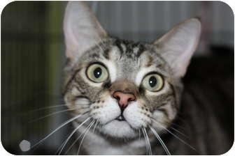 Domestic Shorthair Cat for adoption in Markham, Ontario - LuLu