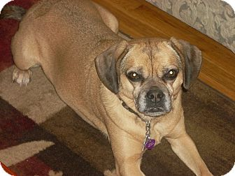 Pug/Beagle Mix Dog for adoption in Mahopac, New York - Nellie