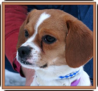 Cavalier King Charles Spaniel/Jack Russell Terrier Mix Dog for adoption in Indianapolis, Indiana - Mackenzie