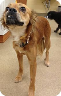 Papillon/Pekingese Mix Dog for adoption in Lancaster, Ohio - Miley