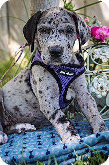Great Dane Puppy for adoption in Auburn, California - Annie Oakley