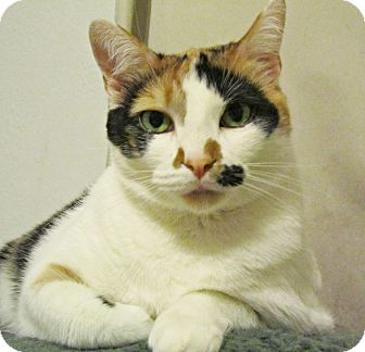 Calico Cat for adoption in Seminole, Florida - Smidge