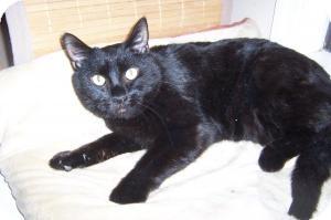 Bombay Cat for adoption in Pueblo West, Colorado - Lonesome Louie
