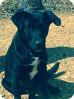 Labrador Retriever Mix Dog for adoption in Hatifeld, Pennsylvania - Aria