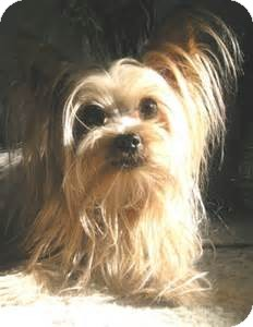 Yorkie, Yorkshire Terrier Dog for adoption in Oswego, Illinois - I'm Adopted Phoebe Kagemann