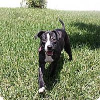 Adopt A Pet :: Macy - Miami, FL