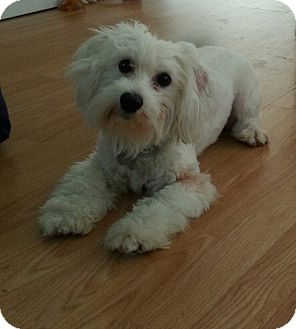 Maltese/Poodle (Toy or Tea Cup) Mix Dog for adoption in Russellville, Kentucky - Memphis