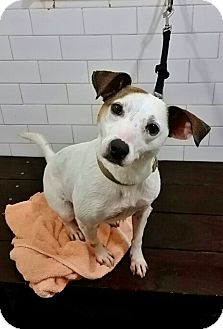 Jack Russell Terrier Mix Dog for adoption in Brooklyn, New York - Paola