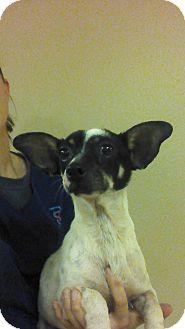 Rat Terrier/Papillon Mix Dog for adoption in Oviedo, Florida - Miles