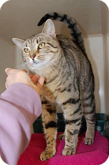 Domestic Shorthair Cat for adoption in Bucyrus, Ohio - Toffee