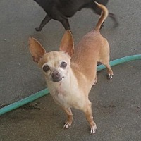 Chihuahua Dog for adoption in Fort Worth, Texas - Rambo (Bobo)