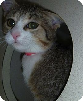 Domestic Shorthair Cat for adoption in Hamburg, New York - Faith
