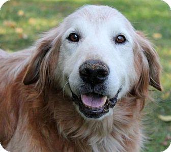 Golden Retriever Dog for adoption in Denver, Colorado - Howard