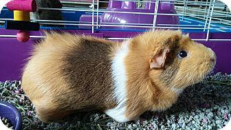 Guinea Pig for adoption in La Grange Park, Illinois - Libby