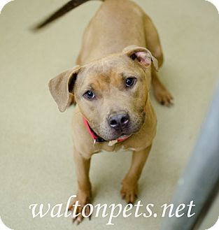 Pit Bull Terrier Mix Dog for adoption in Monroe, Georgia - MADISON