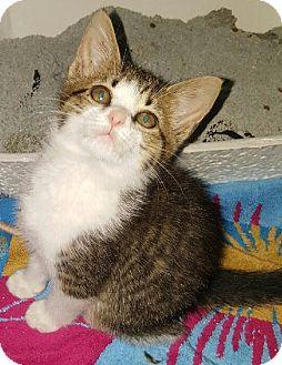 Domestic Shorthair Kitten for adoption in Gainesville, Virginia - King