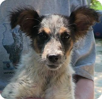 Australian Cattle Dog Mix Puppy for adoption in Texico, Illinois - Squirt