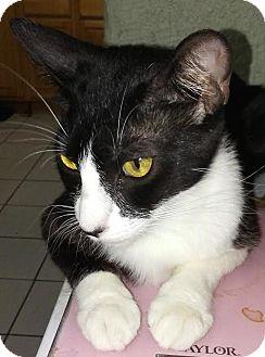 Domestic Shorthair Cat for adoption in cupertino, California - Sheba $25.00