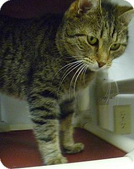 Domestic Shorthair Cat for adoption in Hamburg, New York - Gary
