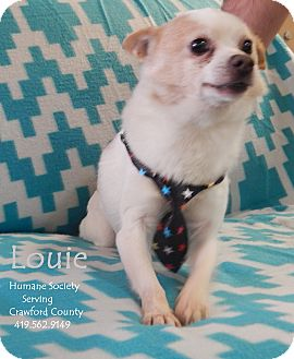 Chihuahua Mix Dog for adoption in Bucyrus, Ohio - Louie