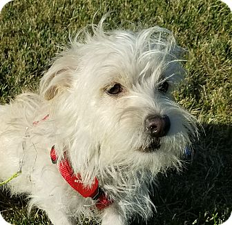 Maltese/Terrier (Unknown Type, Small) Mix Dog for adoption in San Francisco, California - Malcolm