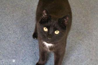 Domestic Shorthair/Domestic Shorthair Mix Cat for adoption in Shelbyville, Kentucky - Mr. Man
