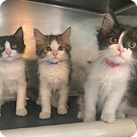 Adopt A Pet :: Missy, Jellybean & Milky - Trinidad, CO