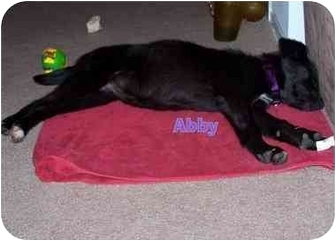 Border Collie/Labrador Retriever Mix Puppy for adoption in Braintree, Massachusetts - Abby