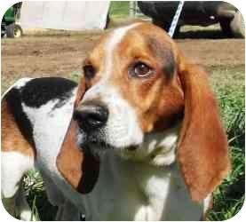 Basset Hound Mix Dog for adoption in Homer, New York - Charlie