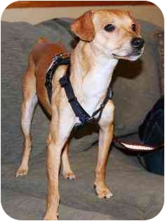 Whippet/Miniature Pinscher Mix Dog for adoption in Osseo, Minnesota - Bryce