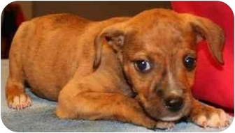 American Bulldog/Terrier (Unknown Type, Medium) Mix Puppy for adoption in Seneca, South Carolina - MOCHA