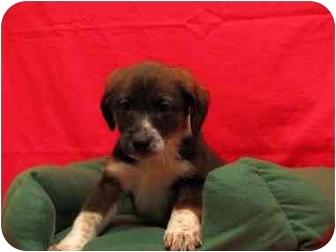 Australian Shepherd/Labrador Retriever Mix Puppy for adoption in Bel Air, Maryland - Mellow