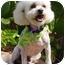 Photo 3 - Bichon Frise Mix Dog for adoption in La Costa, California - Stevie