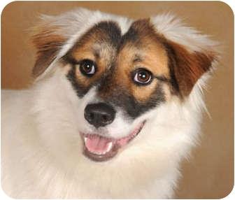 Shih Tzu/Border Collie Mix Dog for adoption in Chicago, Illinois - Irby