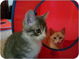 Domestic Shorthair Kitten for adoption in Washington Terrace, Utah - Tripper