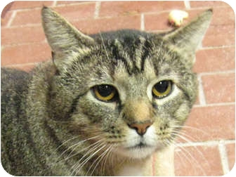 Domestic Shorthair Cat for adoption in Centerburg, Ohio - Norman