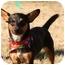 Photo 4 - Corgi/Dachshund Mix Dog for adoption in Cranford, New Jersey - Corky