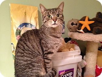 Domestic Shorthair Cat for adoption in East Hanover, New Jersey - Twiggy
