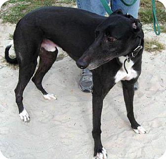 Greyhound Dog for adoption in Spencerville, Maryland - Jordan