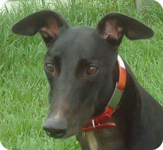 Greyhound Dog for adoption in Longwood, Florida - Killer Link