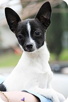 Jack Russell Terrier/Terrier (Unknown Type, Small) Mix Puppy for adoption in Yuba City, California - Tiny Tot