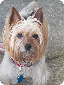 Yorkie, Yorkshire Terrier Dog for adoption in Mary Esther, Florida - Kipper