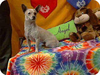 Chihuahua Mix Dog for adoption in San Diego, California - Alba URGENT