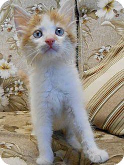 Domestic Mediumhair Kitten for adoption in Scottsboro, Alabama - Vincent