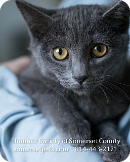 Domestic Shorthair Cat for adoption in Somerset, Pennsylvania - Zone