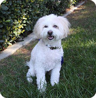 Poodle (Miniature)/Maltese Mix Dog for adoption in Newport Beach, California - GERARD