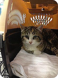 Domestic Shorthair Kitten for adoption in Pittstown, New Jersey - Amethist
